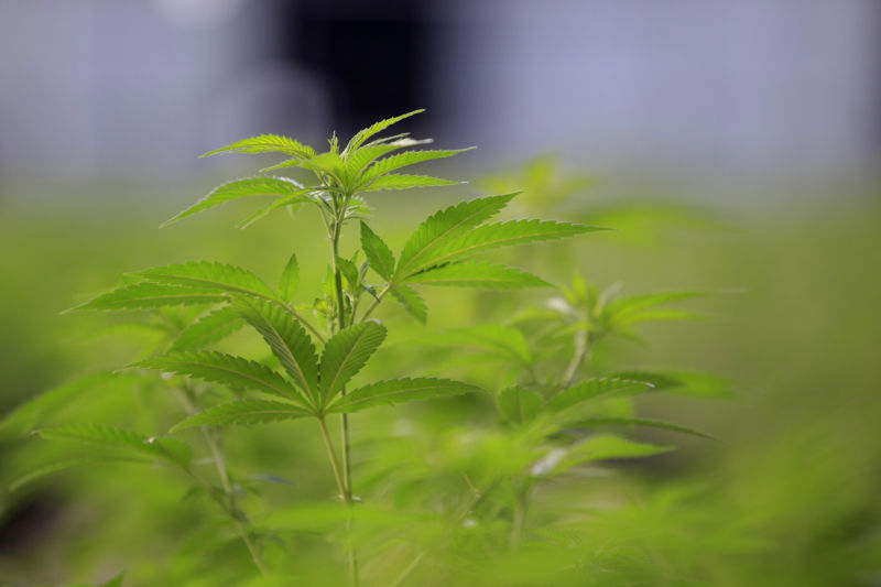 Marijuana plants grow in a greenhouse in Colorado, not for research.