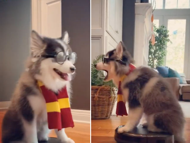 harry-potter-dog-roomba.jpg