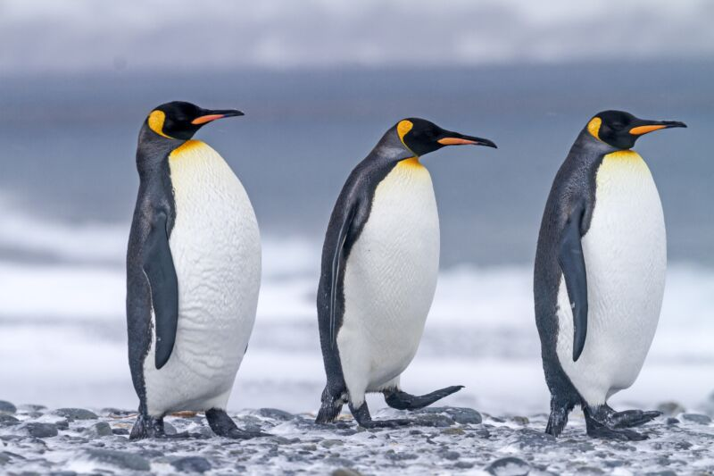 Royaume Uni, Iles de la Georgie du Sud, Plaine de Salysbury, Manchot royal (Aptenodytes patagonicus) United Kingdom, South Georgia Islands, Salysbury plains, King Penguin (Aptenodytes patagonicus). (Photo by Sylvain CORDIER/Gamma-Rapho via Getty Images)