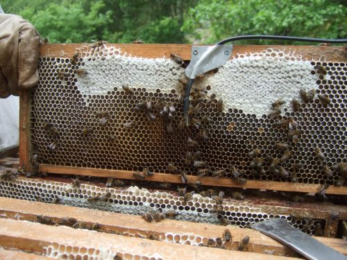 Bees interacting with the temperature probe