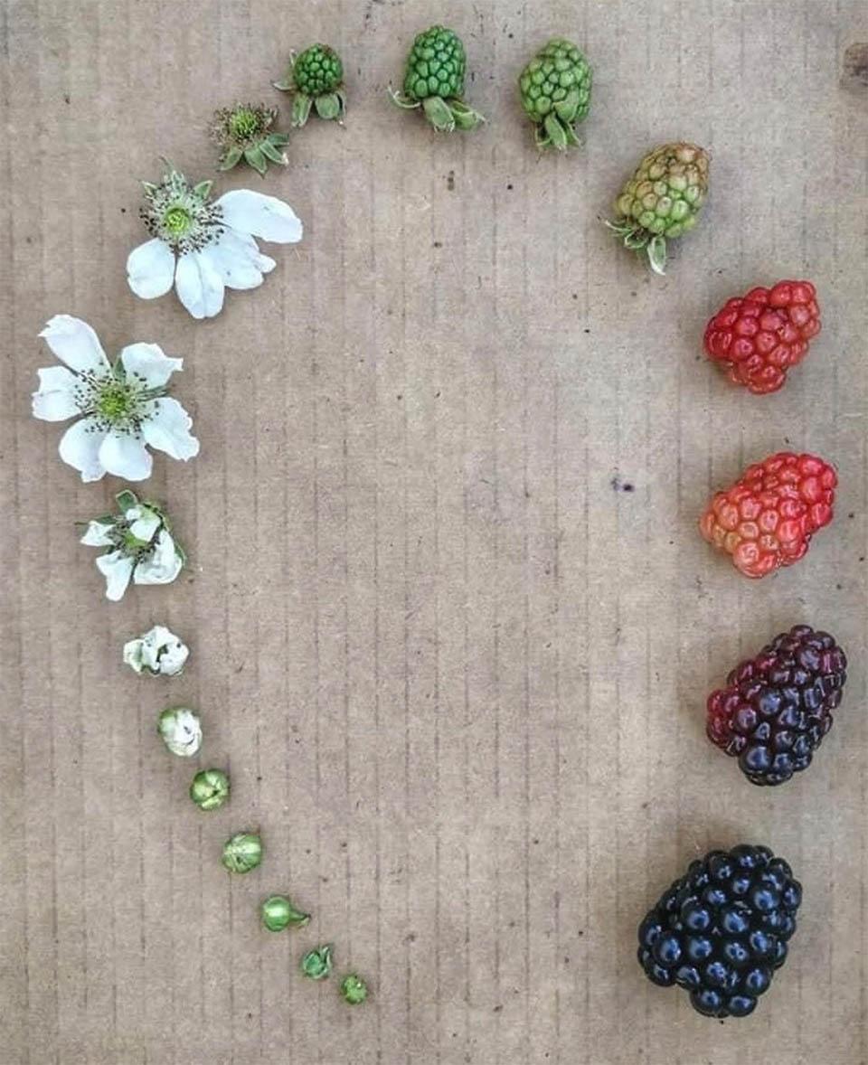 berry-life-cycle.jpg