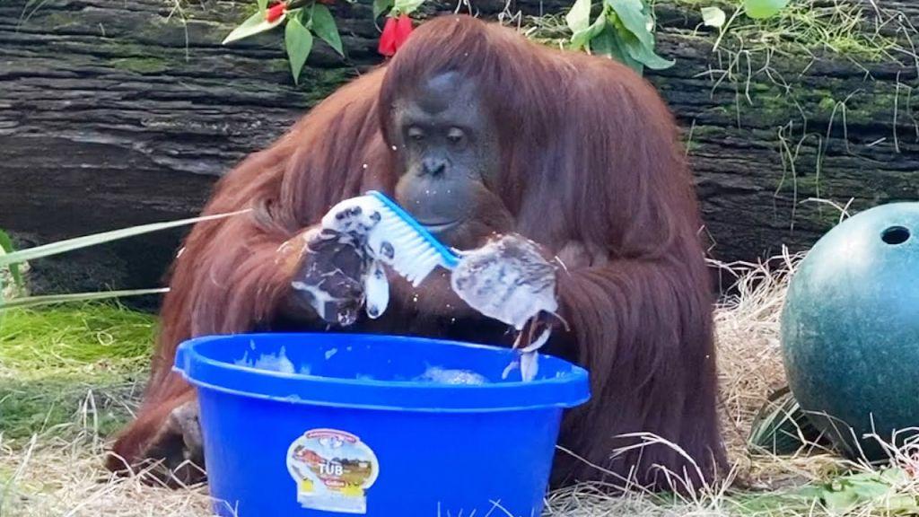 sandra-orangutan-cleaning.jpg