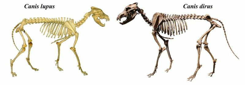 Two canid skeletons facing each other.