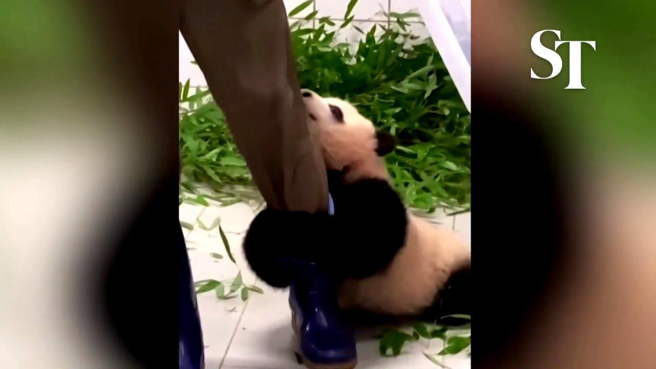 clingy-baby-panda.jpg