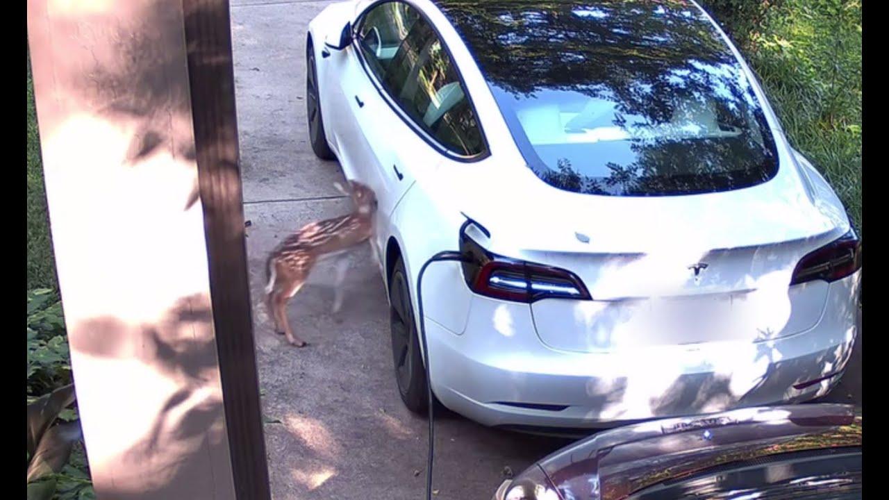 baby-deer-runs-into-tesla.jpg